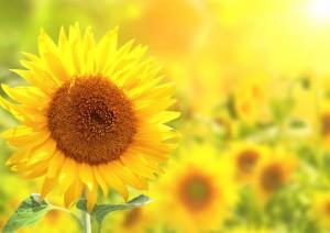 sunflower-e1466128302170